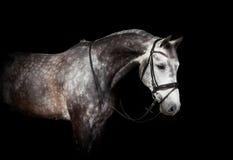 Серая лошадь с уздечкой стоковые изображения