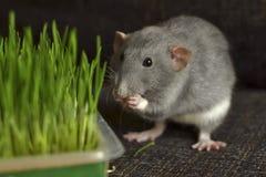 Серая причудливая крыса dumbo ест зеленую траву стоковое изображение rf