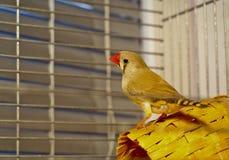 Серая птица Зебр-зяблика сидя на корзине в клетке Стоковое фото RF