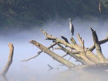 Серая птица цапли воды сидя на упаденном дереве в реке Стоковое Изображение RF