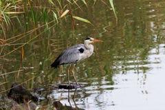 Серая птица цапли на трясине Стоковое Фото