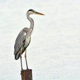 Серая птица цапли Стоковое фото RF