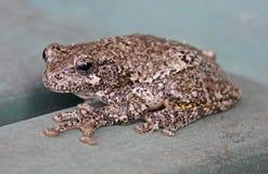 Серая древесная лягушка Стоковое Изображение RF