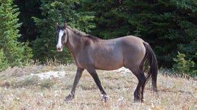 Серая серебряная дикая лошадь конематки Grulla идя в ряд дикой лошади гор Pryor в Монтане США Стоковое фото RF