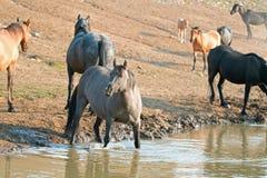 Серая серебряная дикая лошадь конематки Grulla на водопое в ряде дикой лошади гор Pryor в Монтане США Стоковое Изображение RF