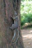 Серая смертная казнь через повешение белки на дереве Стоковая Фотография