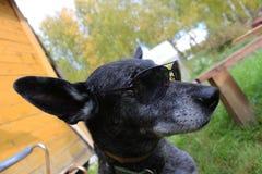 Серая собака чабана Стоковые Фотографии RF