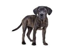 Серая собака щенка corso тросточки Стоковое фото RF