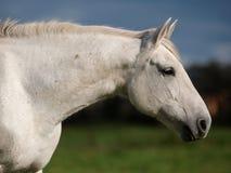 Серая съемка головки лошади Стоковое Фото