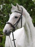 Серая съемка головки лошади Стоковое Изображение RF