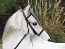 Серая съемка головки лошади Стоковые Фотографии RF