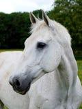 Серая съемка головки лошади Стоковые Изображения RF