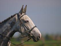 Серая съемка головки лошади Стоковое Изображение