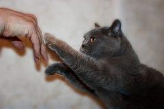 Серая толстая кота дома pedigreed стоковая фотография rf
