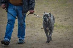 Серая тросточка Corso с элегантной походкой рядом с обработчиком Его поворот, который нужно выполнить на выставке собак стоковая фотография rf