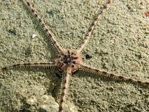 Серая хрупкая звезда Стоковые Фотографии RF