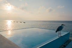 Серая цапля на бунгало бассейна воды в Мальдивах на заходе солнца стоковое фото