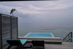 Серая цапля, пейзажный бассейн и 2 шезлонга на террасе бунгало воды в Мальдивах на восходе солнца стоковые фото