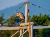 Серая цапля стоя на поперечной балке металла Стоковые Фото
