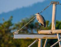Серая цапля стоя на поперечной балке металла Стоковое Изображение