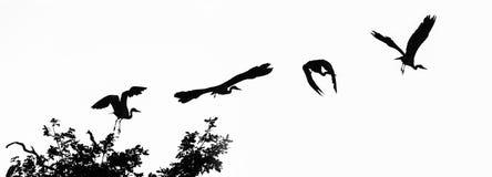 Серая цапля & x28; Cinerea& x29 Ardea; в смеси полета Стоковое фото RF