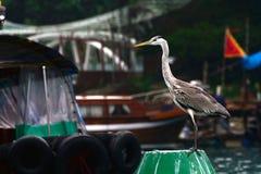 Серая цапля, Абердин, Гонконг Стоковое Изображение RF