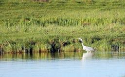 Серая цапля в воде идет вдоль берега пруда Стоковые Изображения RF