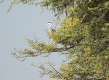 Серая цапля садить на насест в дереве Стоковая Фотография RF