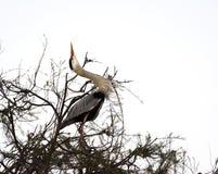 Серая цапля с его шеей вверх в Camargue, Франции Стоковое Изображение