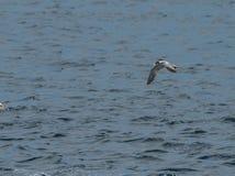 Серая чайка летая над поверхностью воды с волнами Сингапуром Стоковая Фотография RF