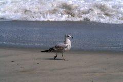 Серая чайка идет вдоль берега океана Стоковое Изображение