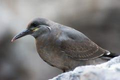 Серая чайка Стоковое Фото