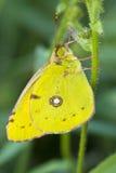 сера бабочки безоблачная отдыхая Стоковые Изображения