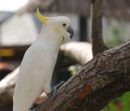 Сера Crested какаду садить на насест на ветви стоковое фото