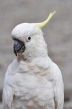 сера crested cockatoo Стоковое Фото
