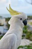 сера crested cockatoo Стоковые Изображения RF