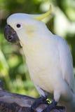 сера crested cockatoo Стоковая Фотография