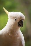 сера crested cockatoo Стоковое Изображение