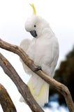 сера crested cockatoo Стоковое Изображение RF