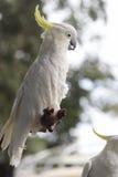 сера galerita cacatua crested cockatoo Стоковая Фотография