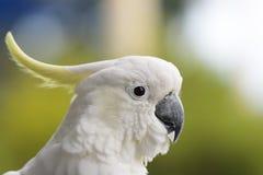 сера galerita cacatua crested cockatoo Стоковые Фото