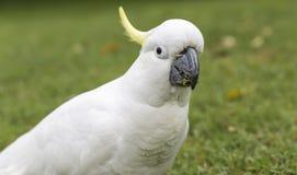 сера galerita cacatua crested cockatoo Стоковые Изображения