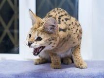 Сервал большой кошки дома Стоковые Фотографии RF