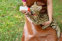 Сервал младенца владельца зоопарка подавая Стоковые Изображения