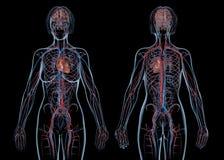 Сердечно-сосудистая система, зад и виды спереди женщины стоковые фото