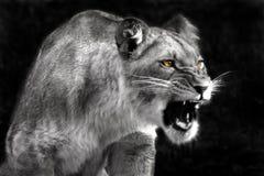 сердитая львица Стоковые Изображения