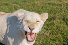 сердитая львица стоковые фотографии rf