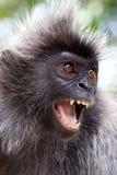 сердитая обезьяна стоковые изображения rf