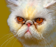 сердитая персиянка кота стоковое изображение