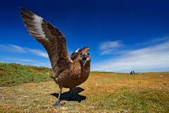 Сердитая птица, открытый счет и крыла Птица от Норвегии Поморниковый Брайна, Catharacta Антарктика, птица воды сидя в траве осени Стоковое Изображение